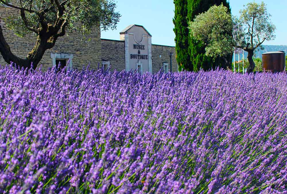 The Museum of Lavender